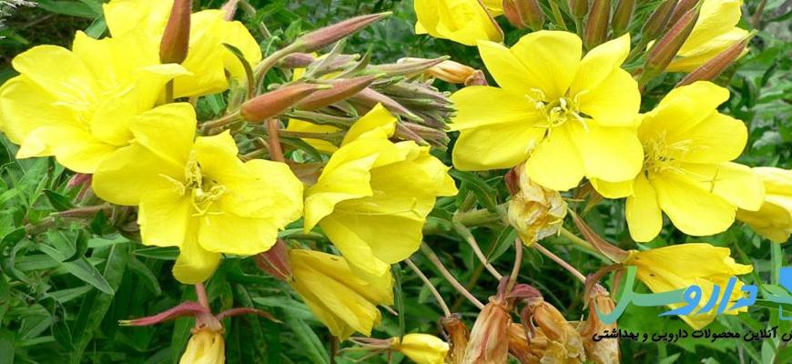 آشنایی با خواص گیاه گل مغربی-Oenothera biensis